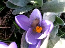 File:Bee on crocus.ogv
