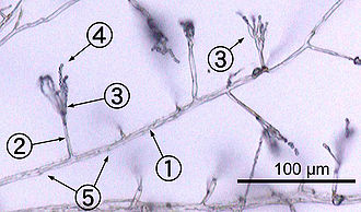 Monochrome micrograph showing Penicillium hyphae as long, transparent, tube-like structures a few micrometres across. Conidiophores branch out laterally from the hyphae, terminating in bundles of phialides on which spherical condidiophores are arranged like beads on a string. Septa are faintly visible as dark lines crossing the hyphae.