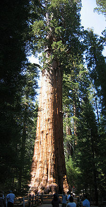 A redwood tree