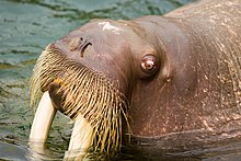 "Photo of walrus head in profile showing one eye, nose, tusks, and ""mustache"""