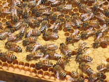 Many honey bees on a comb