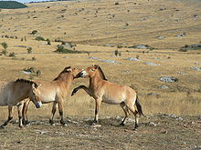 Three tan colored horses with upright manes. Two horses nip and paw at each other, while the third moves towards the camera. They stand in open, rocky grassland, with forests in the distance.