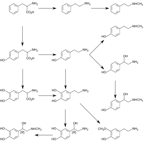 Graphic of catecholamine and trace amine biosynthesis