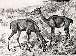 A drawing of two early camels