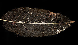 Vein skeleton of a leaf (de-ghosted).jpg