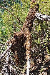Bees completely covering the base of a fallen tree