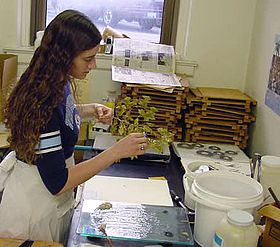 photograph of a botanist preparing plant specimens for the herbarium