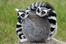 Two ring-tailed lemurs curled up together