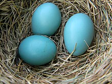 Robin eggs in a nest