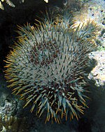 Crown-of-thorns starfish in Fiji