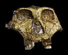 Original of Paranthropus robustus Face.jpg