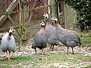 Domesticated Guineafowl - geograph.org.uk - 543901.jpg