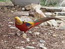 Male Golden Pheasant DC.jpg