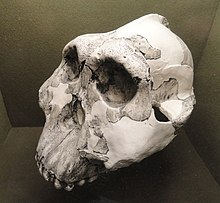 Large, white, complete skull in three-quarter view facing left