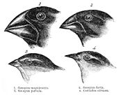 Darwin's finches by Gould.jpg