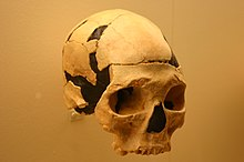 A partially reconstructed skull