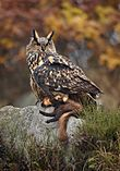 Large owl with prey