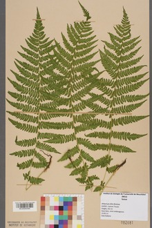 A herbarium specimen of the lady fern, Athyrium filix-femina