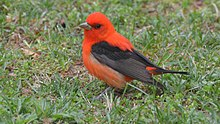 A scarlet tanager