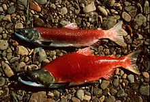 Sockeye salmon showing distinctive red colouring