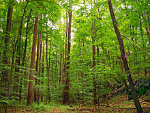 Grove of tall deciduous forest trees