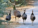 Indian Peahens I IMG 9647.jpg