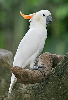 Citron-crested Cockatoo.jpg