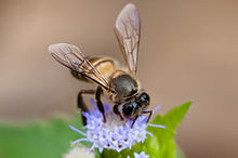 Apis cerana, Asiatic honey bee - Khao Yai National Park.jpg
