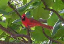 Cardinal bird in a tree