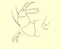 Paratarsotomus macropalpis palps, claws and mandibles.png
