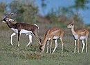 Blackbuck male female.jpg