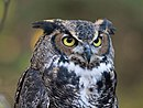 Great-horned Owl RWD at CRC1.jpg