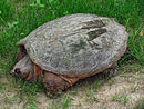 Common Snapping Turtle.jpg