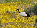 Sacred Ibis Foraging Among the Wildflowers (44031840654).jpg
