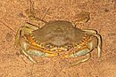 Scylla serrata Mud Crab.jpg