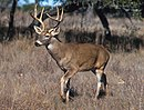 White-tailed deer.jpg