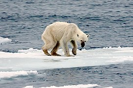 An emaciated polar bear stands atop the remains of a melting ice floe.